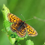 Title: Heath Fritillary