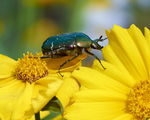 Title: Rose chafer