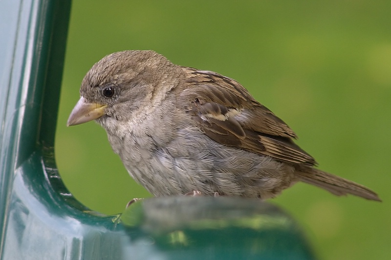 One out of four - Passer domesticus