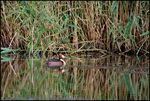 Title: Crested Grebe