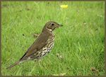 Title: song thrush