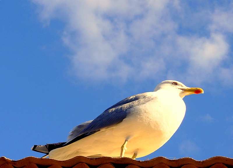 Gull in the roof