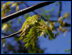 Title: leas from the maple tree