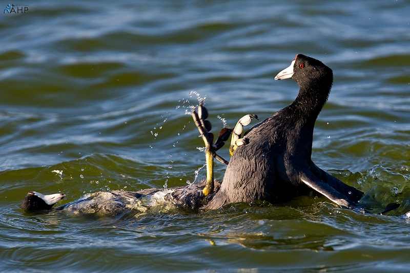 The Coot Fight