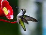 Title: Female Ruby Throated Hummingbird