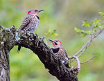 Title: Northern Flickers