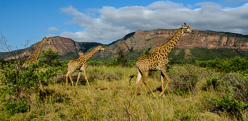 3 giraffes on the veldt