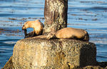 Title: Basking Sea Lions #2