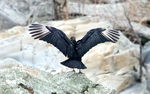 Title: Black Vulture Spreads Wings