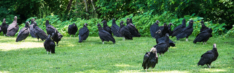 Gathering of Black Vultures