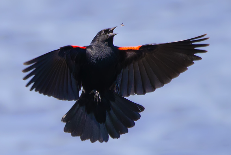 Red-winged blackbird catches insect