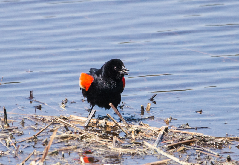 rew-winged blackbird
