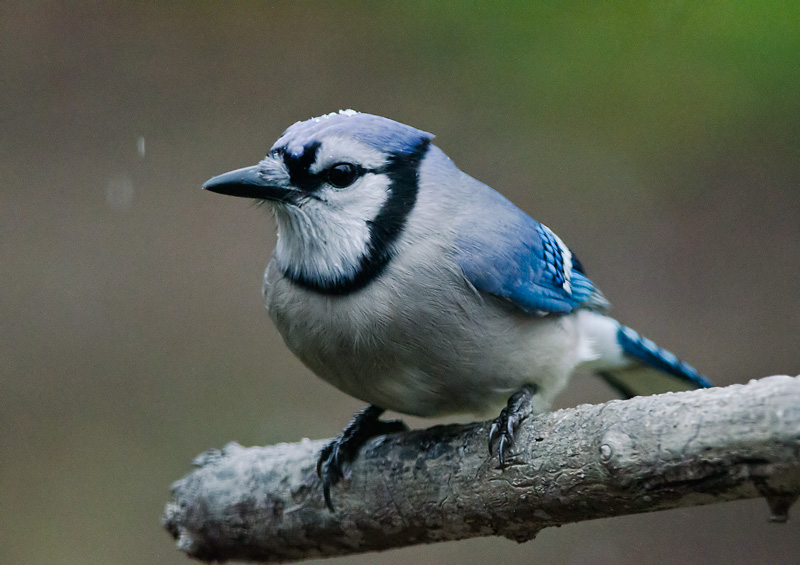 Blue jay in first snow