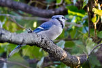 Title: Blue Jay in the Morning