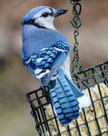 Title: Blue Jay at Feeder