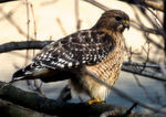 Title: Red Shouldered Hawk 2