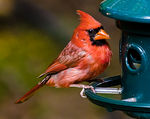Title: Cardinal at Feeder