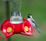 Title: Chickadee thinks its a Hummingbird!
