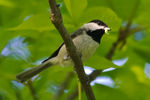 Title: Chickadee Brings Home DinnerNikon D7000