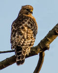 Title: Red Shouldered Hawk