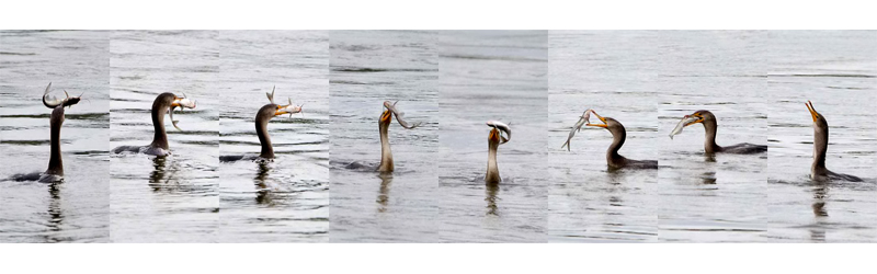 Double-crested Cormorant catches a fish