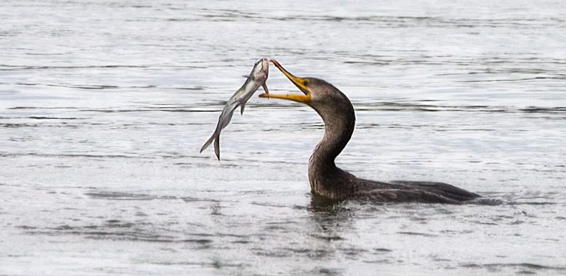 Coromorant catches a fish - single