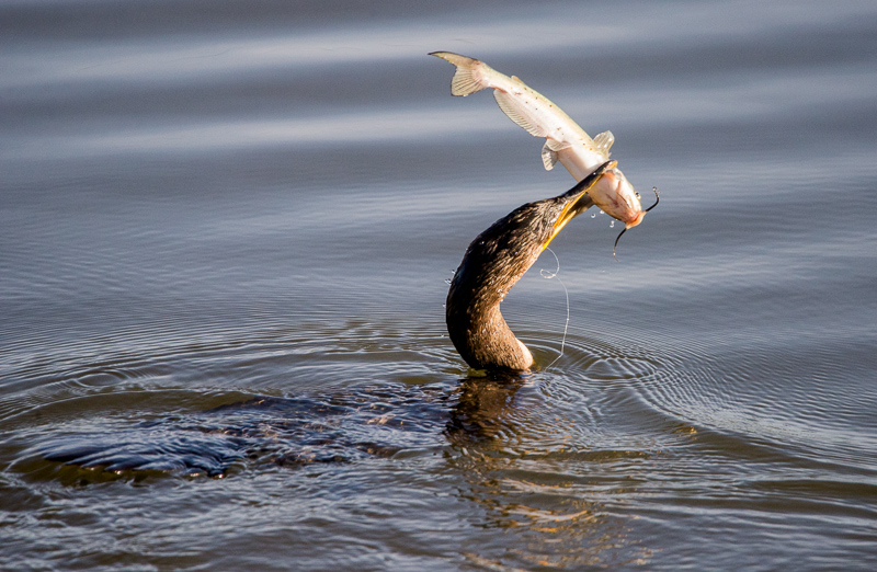Double-crested Cormorant catches fish 2