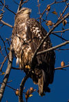 Title: Immature bald eagle