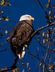 Title: Bald Eagle