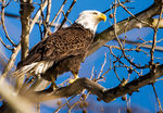 Title: Bald Eagle on LookoutNikon D610