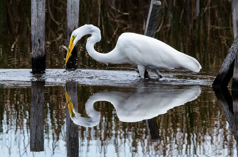 Egret catches fish