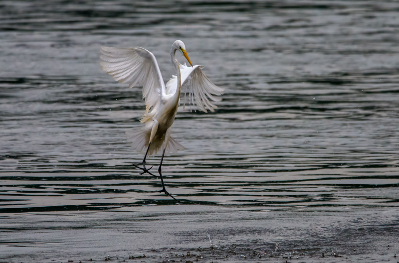 Egret chasing fishing lure