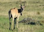 Title: Young eland