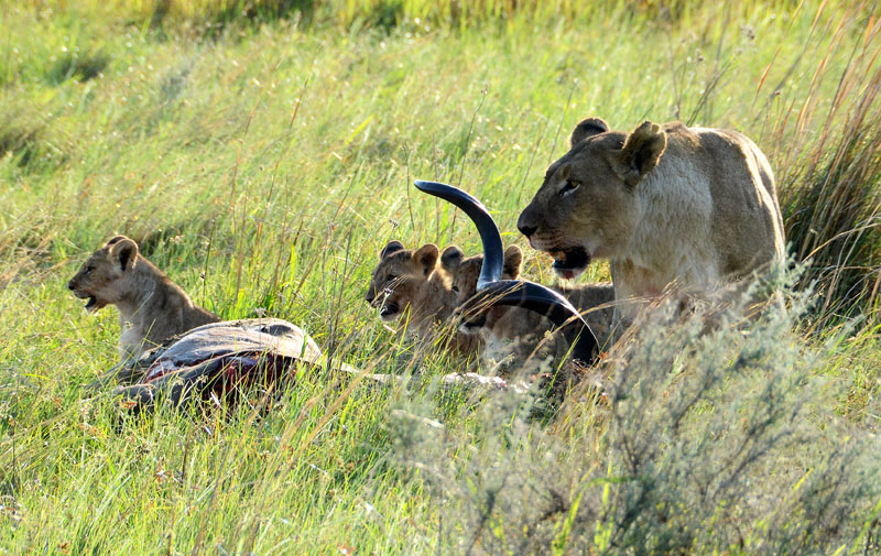 Lioness with cubs and kill
