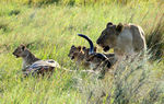 Title: Lioness with cubs and kill