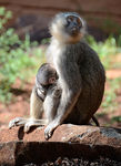 Title: Vervet monkey and young