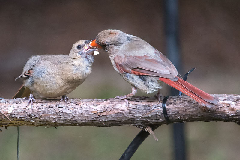 Dinner time for cardinals