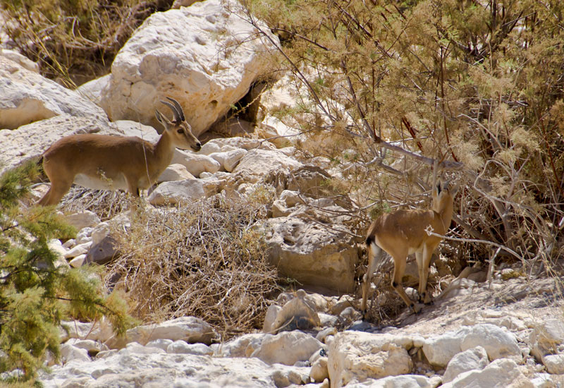 Ibex Doe and Fawn