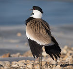 Title: Siksak - spur-winged plover