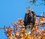 Title: Bald eagle in fall