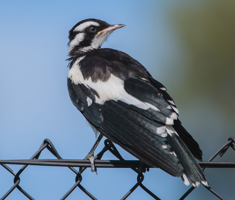 Magpie lark on a fence