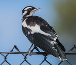 Title: Magpie lark on a fence