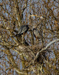 Title: Nesting herons - 1