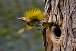 Title: Northern Flicker Leaving Nest