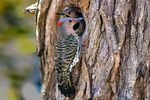 Title: Male and Female Flickers at NestNikon D7000