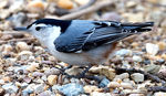 Title: Nuthatch ground feeding