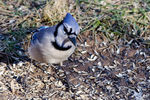 Title: Pigeon-toed blue jay!!