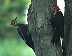 Title: Pileated Woodpeckers