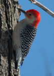 Title: Red bellied Woodpecker after snowNikon D70