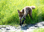 Title: Red fox #3